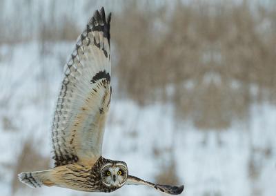 600-owl